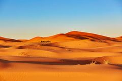 Camel caravan in Sahara Desert, Morocco Royalty Free Stock Photography