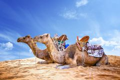 Camel caravan in the Sahara of Morocco. Animals lie on sand dunes and have typical African saddles on their backs. There is lue sky in the background, desert stock photography