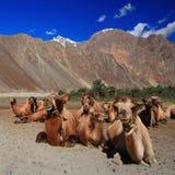 Camel caravan in the sand dunes Stock Image