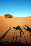 Camel caravan shadows. In the morning desert Royalty Free Stock Image