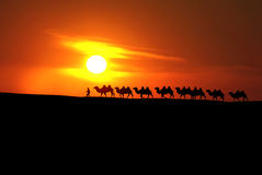 Camel caravan with sunset. In Xinjiang, China Royalty Free Stock Photography