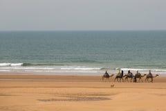 Camel caravan walking in the morning in Sidi Kaouki Royalty Free Stock Images