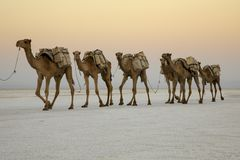 Camel caravans transporting salt blocks from Lake Assale. The Danakil depression — specifically the area surrounding Lake Afdera — is the place from which Stock Photo