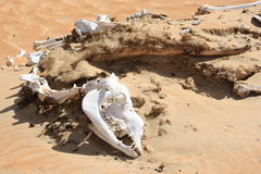 Camel carcass. Camel remains in the desert of Rub Al Khali stock image