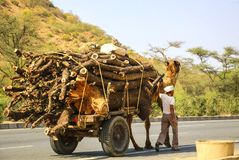 Camel carries firewood, Rajasthan, India royalty free stock photography