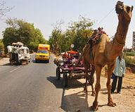Camel Cart. February 22, 2012 Ahmedabad,Gujarat,India,Asia-A camel carrying a woman with their furniture on the road of Ahmedabad-Gujarat Stock Photos