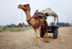 Camel cart. This is camel cart,Its very popular vehicle from india Stock Photo