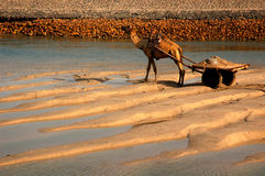Camel with cart by river Royalty Free Stock Photos