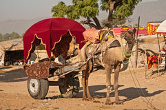 Camel cart for tourists Stock Image