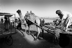 Camel Carts Stock Photo