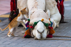 Camel and Cat Stock Images