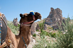 Camel and cave house. A camel in the foreground and cave houses in the background. Taken in Cappadocia, Turkey Stock Images