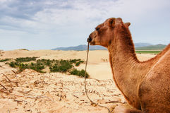 Camel in central Mongolia. Camel resting on a sand dune in central Mongolia Royalty Free Stock Images