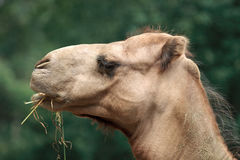 Camel Chewing Royalty Free Stock Images