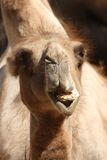 Camel Chewing Royalty Free Stock Photo