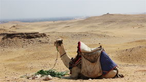 Camel chewing grass in the desert. Egypt stock video