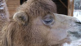 Camel chewing hay. On a winter background, close-up stock video footage