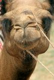 Camel Close-up. Close-up of a camel in Bikaner, India Royalty Free Stock Photo