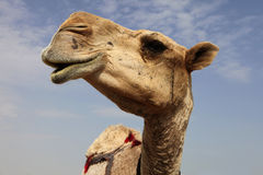 Camel close-up Royalty Free Stock Photos