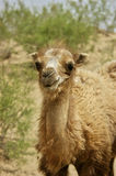 Camel close-up Royalty Free Stock Image