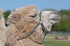 Camel close up Stock Photo
