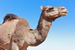 Camel  close-up. Camel portrait in the sahara desert, close-up, light blue sunny sky, squared Stock Photos
