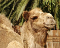 Camel close-up. Close-up of a camel with palm trees in the background Royalty Free Stock Photo