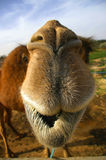 Camel close up. Funny camel face in africa Stock Images