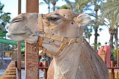 A Camel Close Up Royalty Free Stock Images