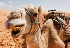 Camel. Close up of a camel chewing it food royalty free stock photos
