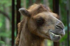 Camel. Close up of camel eating grass Stock Photos