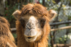 Camel. Close up of camel eating grass Royalty Free Stock Photography