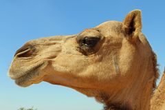 Camel Close up of face. Camels are not timid in the middle east, this camel is stray not in a managed heard Stock Photo