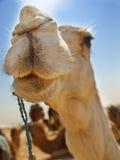 Camel close up Stock Image