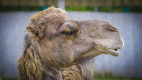 Camel. Close up of camel face in a zoo Stock Image