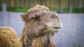 Camel. Close up of camel face in a zoo Stock Photos