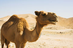 Camel close up Royalty Free Stock Photography