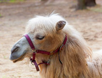 Camel close-up portrait Royalty Free Stock Images