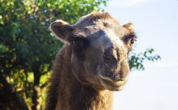 Camel close-up, portrait photo, bokeh background stock photography
