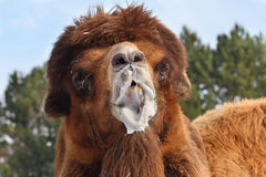 Camel. Close up shot of camel portrait Royalty Free Stock Photo