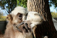 Camel close-up stands near the tree furry hair in the afternoon stock image