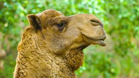 Camel close up stock footage