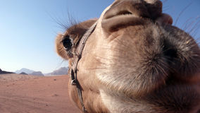 Camel close-up, Wadi Rum, Jordan Stock Photo