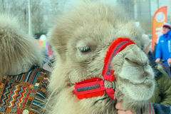 Camel close up in the winter in Siberia. Camel close up in winter in Siberia, daytime Stock Images