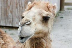 Camel Closeup. Closeup photo of a camel looking for food Royalty Free Stock Photography