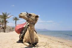 Camel Closeup. Royalty Free Stock Photos