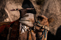 Camel closeup Stock Photography