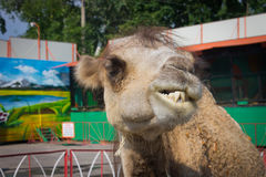 Camel closeup. Funny portrait. The in the zoo. Stock Photography
