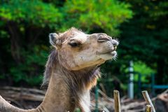Close up of a camel`s head. A camel closeup of a head with an interesting grimace Stock Images
