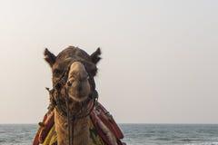 Camel. Closeup image of camel face royalty free stock photos